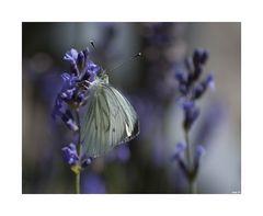 Schmetterling... II