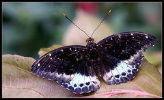 Schmetterling (II)