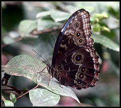 Schmetterling (III)