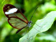 Schmetterling im Bergnebelwald in Ecuador