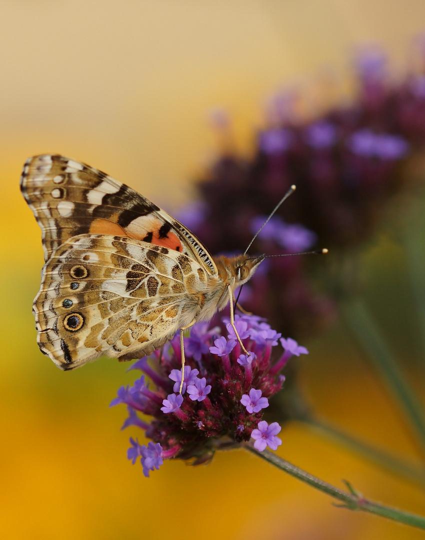 Schmetterling im Farbenmeer