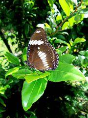 """"""" Schmetterling im Garten """" , Pang-pang - Aklan - Panay 2014"""