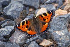 Schmetterling im Geröll auf dem Belchen