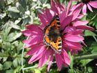 Schmetterling im Hausgarten
