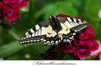 Schmetterling im Licht
