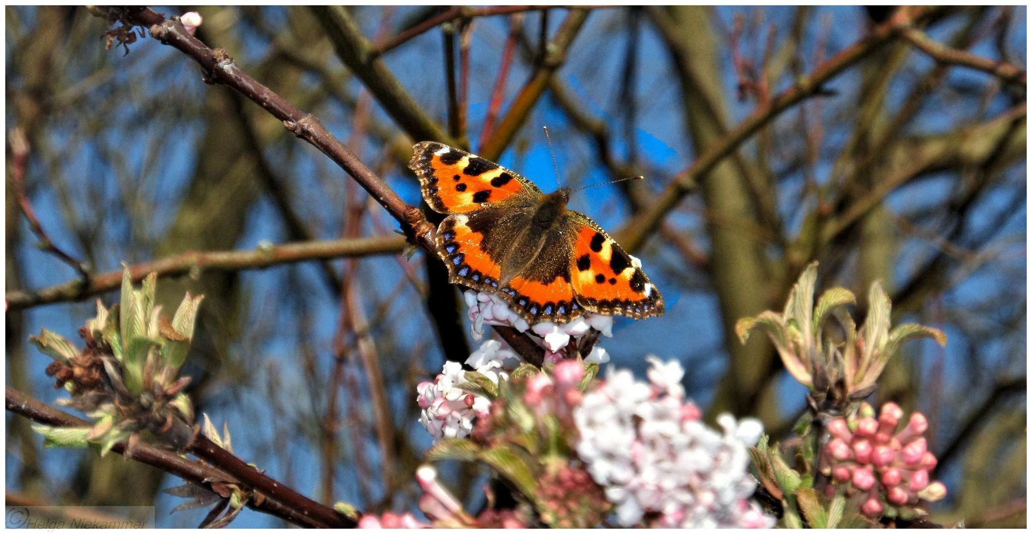 Schmetterling im März