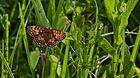 Schmetterling im noch taufrischen Gras!