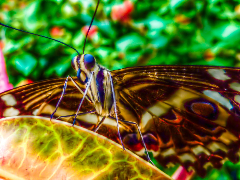 Schmetterling im Papiliorama Kerzers