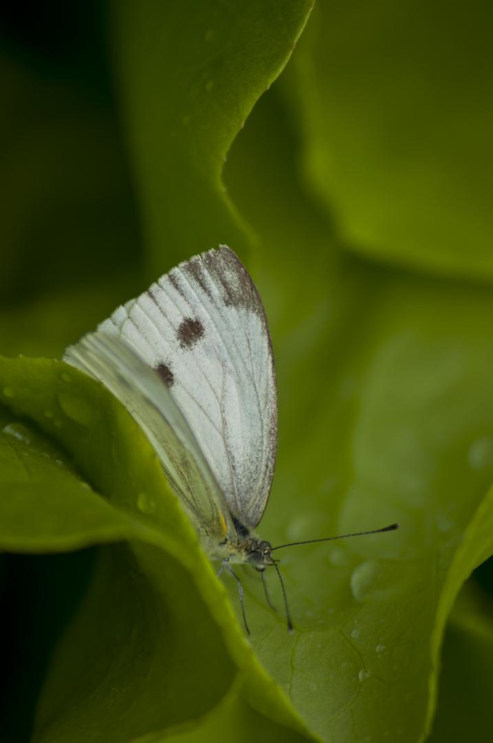 Schmetterling im Salat