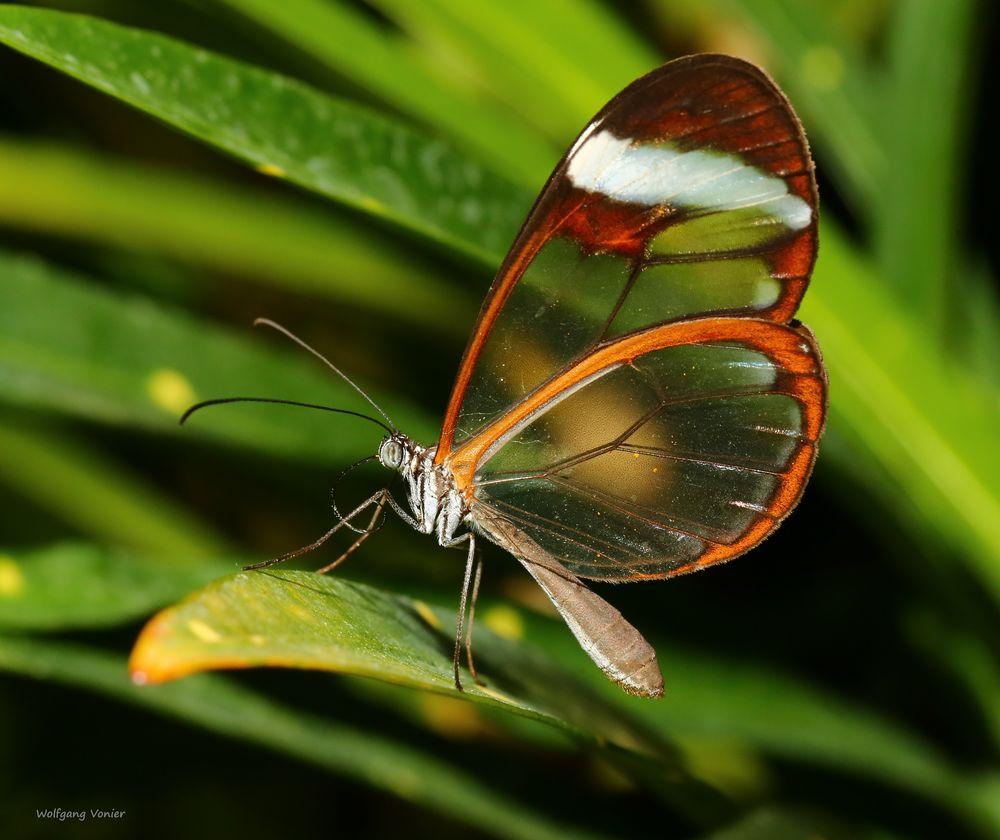 Schmetterling im Schmetterlingshaus auf der Insel Mainau
