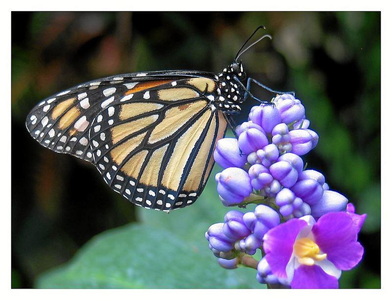 Schmetterling im Vlindertuin, Zoo Emmen