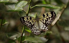 Schmetterling    im  Wilhelma
