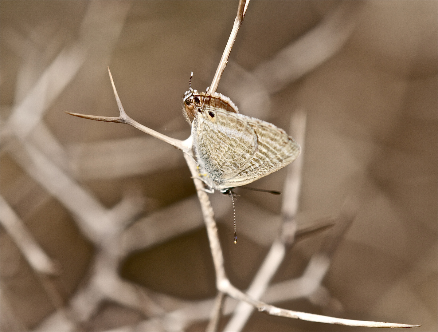 Schmetterling in Andalusien