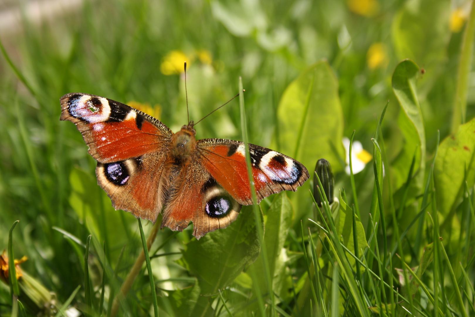 Schmetterling in der Sonne