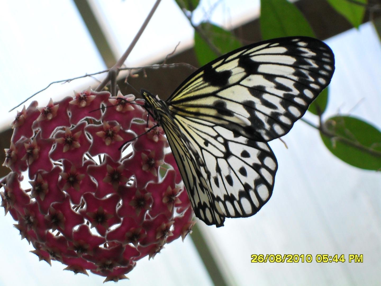 Schmetterling in Gefangenschaft