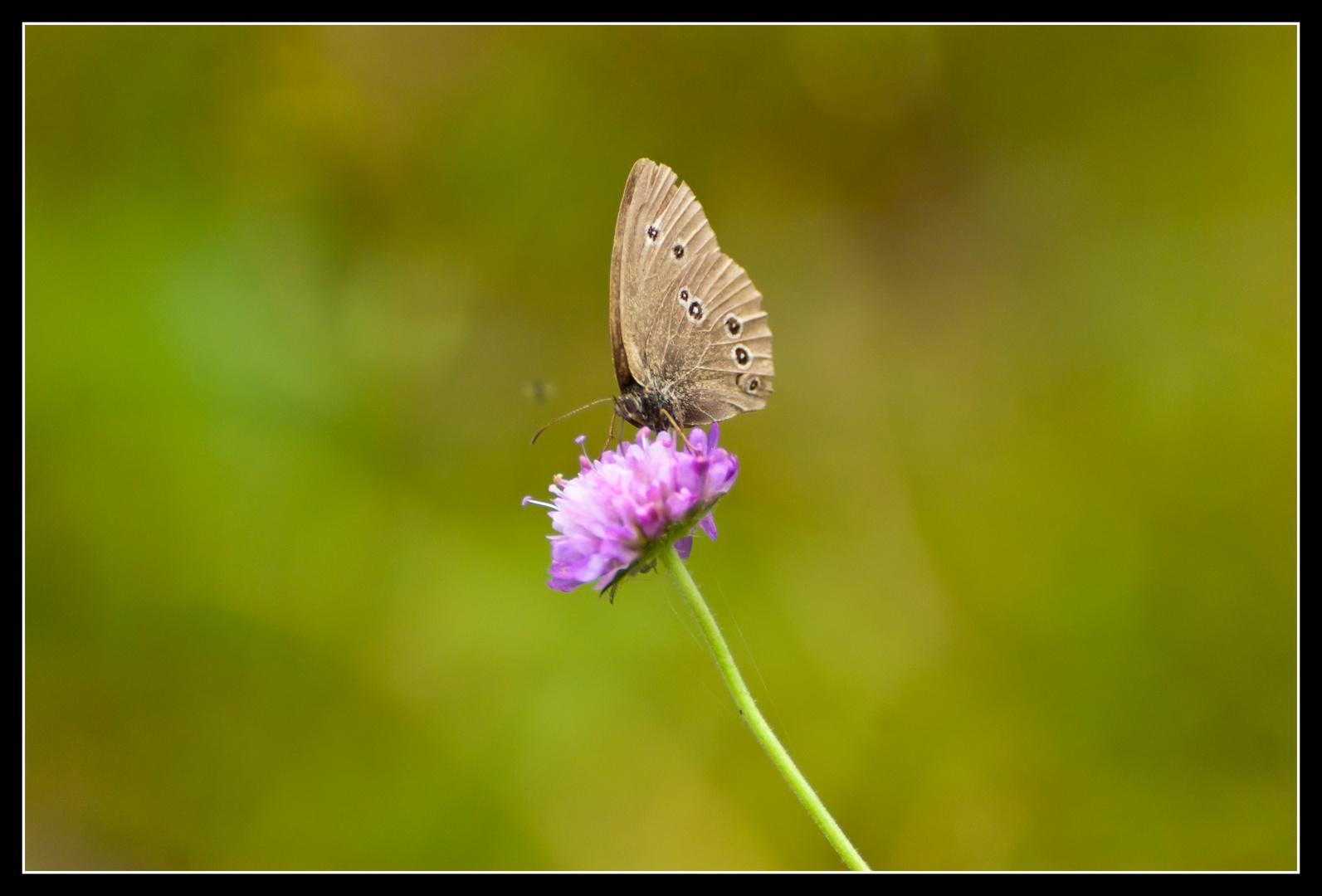 Schmetterling in Ostpreußen