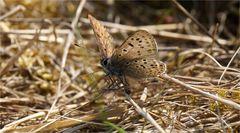 Schmetterling in Tarnfarben