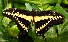 Schmetterling - King Swallowtail Papilio thoas