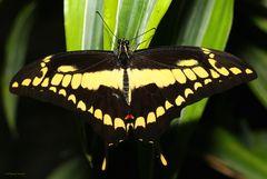 Schmetterling-King Swallowtail Papilio thoas vom 28.12.2018