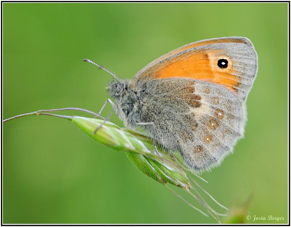 Schmetterling (kl. Heufalter im Sonnenbad)