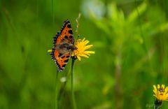 Schmetterling  kleiner Fuchs, Aglais urticae