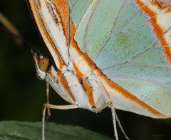 Schmetterling Malachitfalter Siproeta stelenes