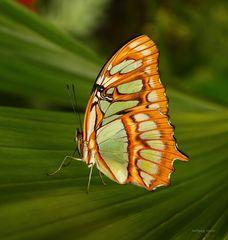 Schmetterling-Malachitfalter (Siproeta stelenes)