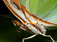 Schmetterling-Malachitfalter Siproeta stelenes vom 28.12.2018