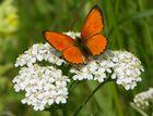 schmetterling-Mariposa
