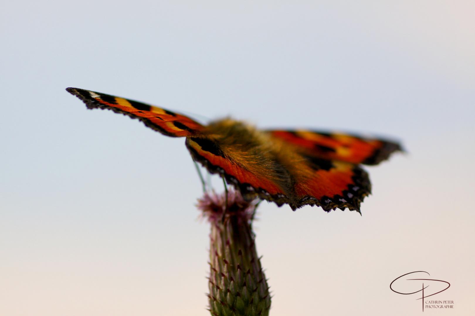 Schmetterling mit Blick in die Ferne