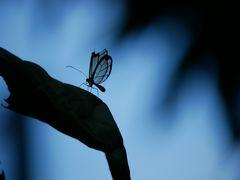 Schmetterling mit durchsichtigen Flügeln
