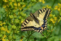 Schmetterling mit Freundin