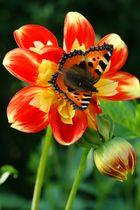 Schmetterling mit Sommerblume