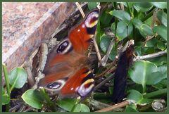 Schmetterling mit ...... ? Wer weiß was das ist? Der konnte plötzlich fliegen.