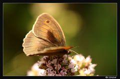 Schmetterling Nr. 3..