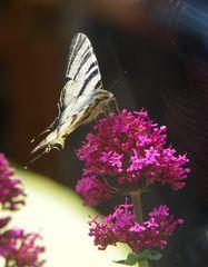 Schmetterling nur welcher?