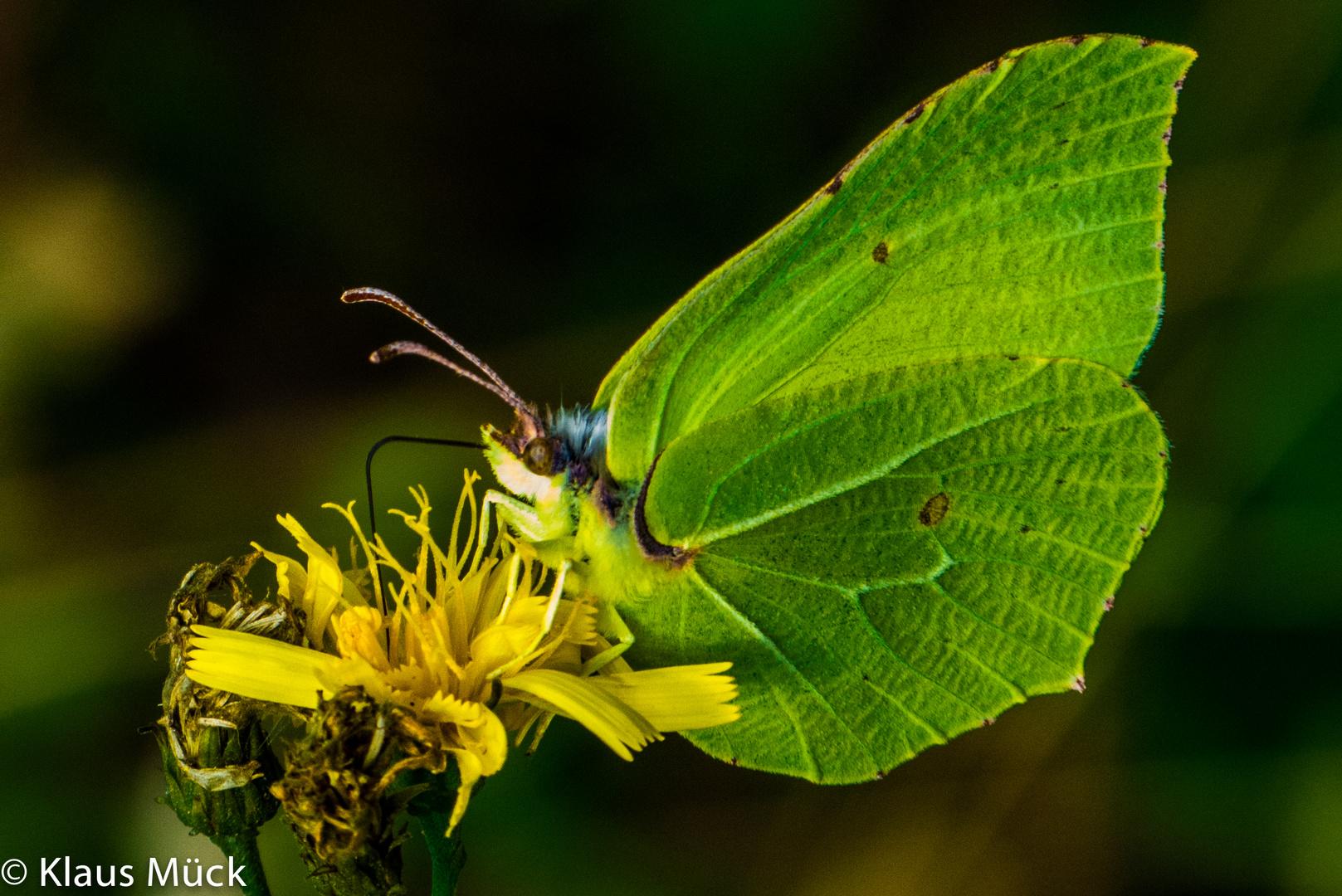 Schmetterling oder Blattgrün?