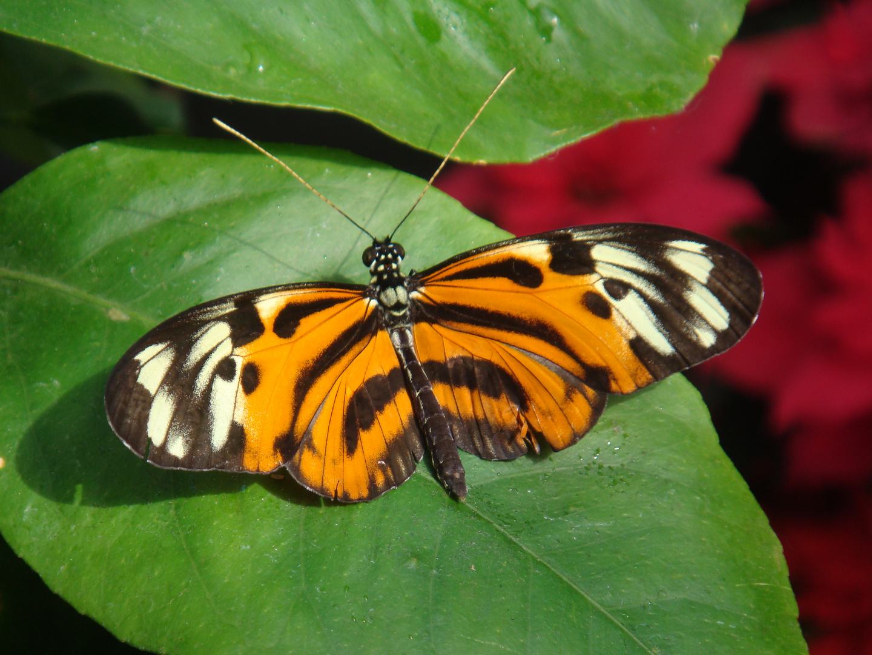 Schmetterling orange
