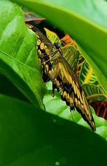 """"""" Schmetterling """" , Pang-pang - Aklan - Panay"""