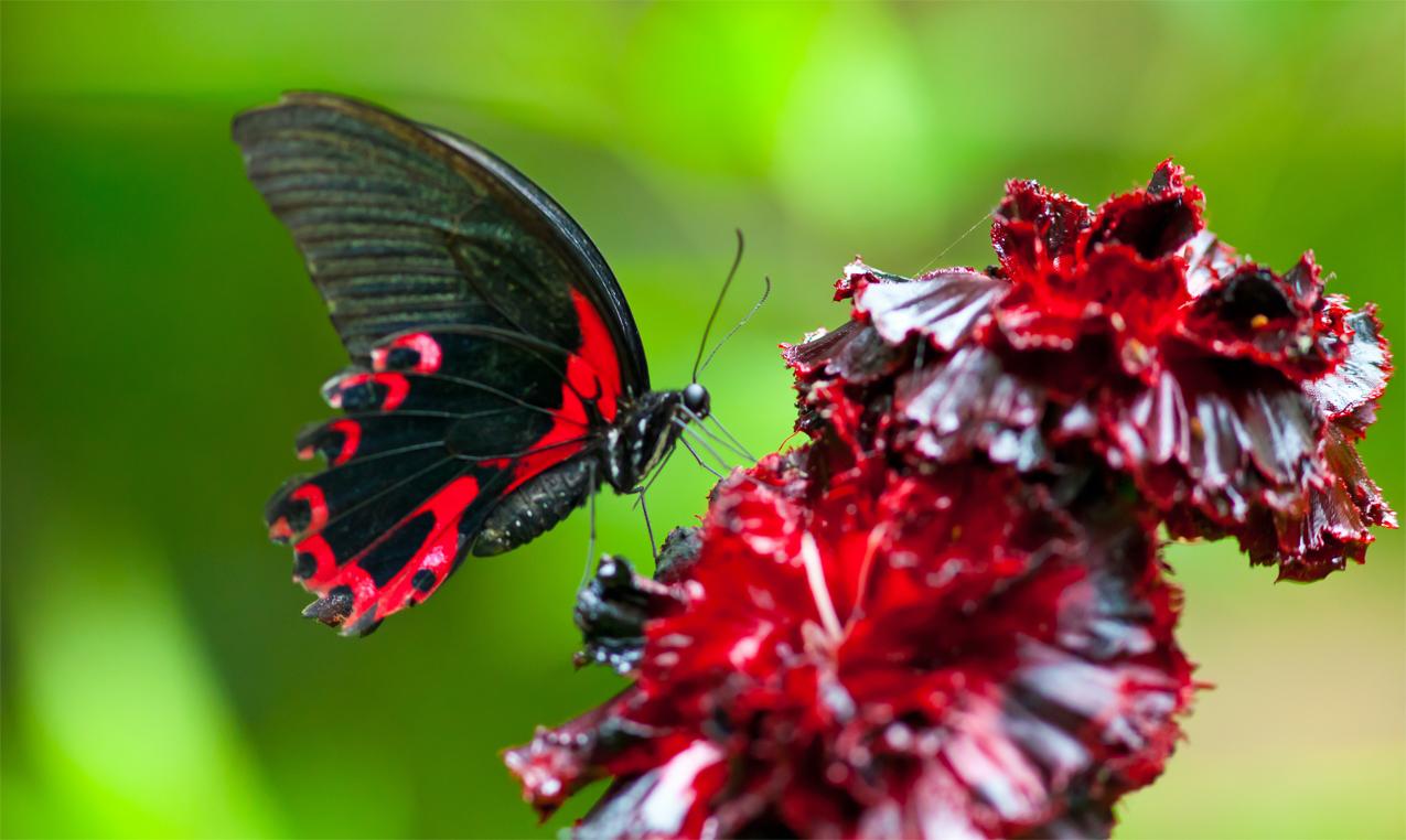 Schmetterling Papilio rumanzovia