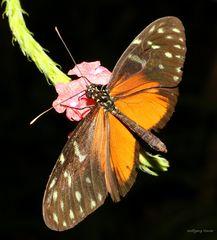 Schmetterling- Passionsfalter