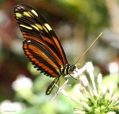 Schmetterling Passionsfalter