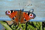 Schmetterling - Pfauenauge