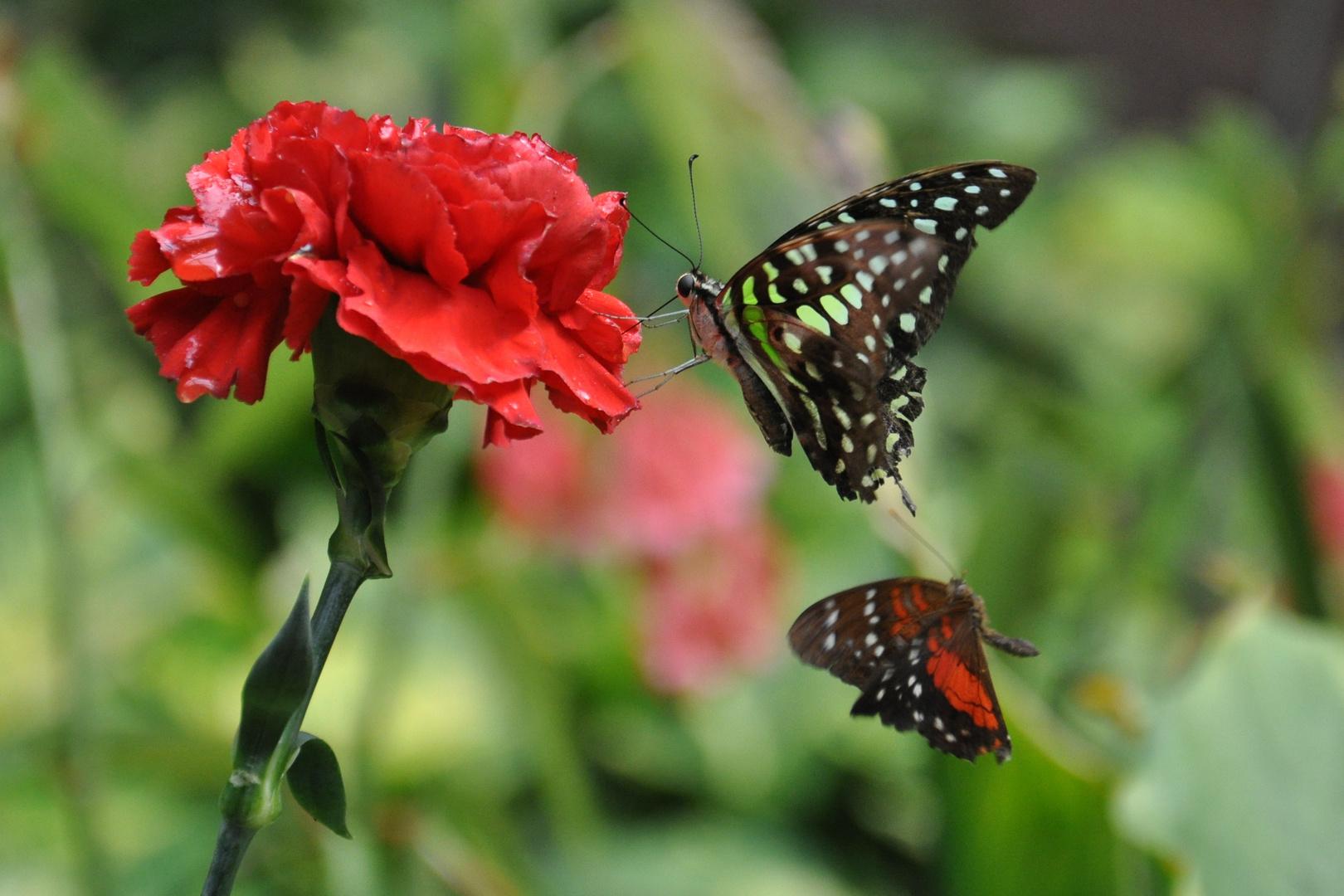 Schmetterling (Schmetterslingspark Klütz)