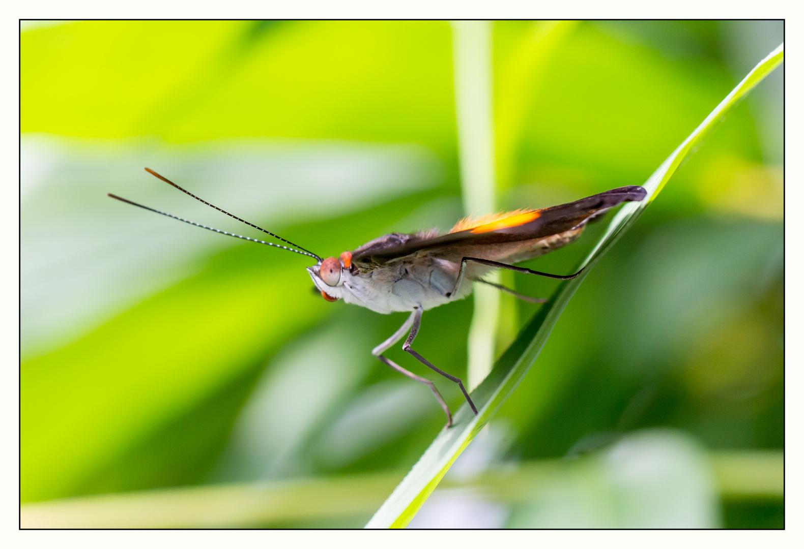 Schmetterling - Seitenansicht