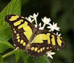Schmetterling (Sipreta stelene)