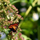 Schmetterling > Sommer > 2010