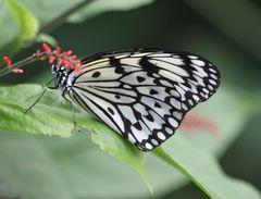 Schmetterling s/w