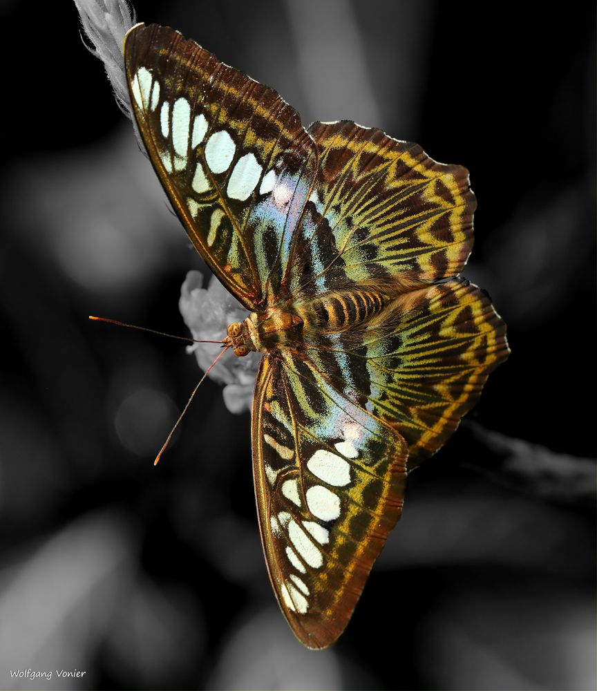 Schmetterling - The Clipper Pathenos Sylvia violaceae