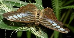 Schmetterling- The Clipper (Pathenos Sylvia violaceae)